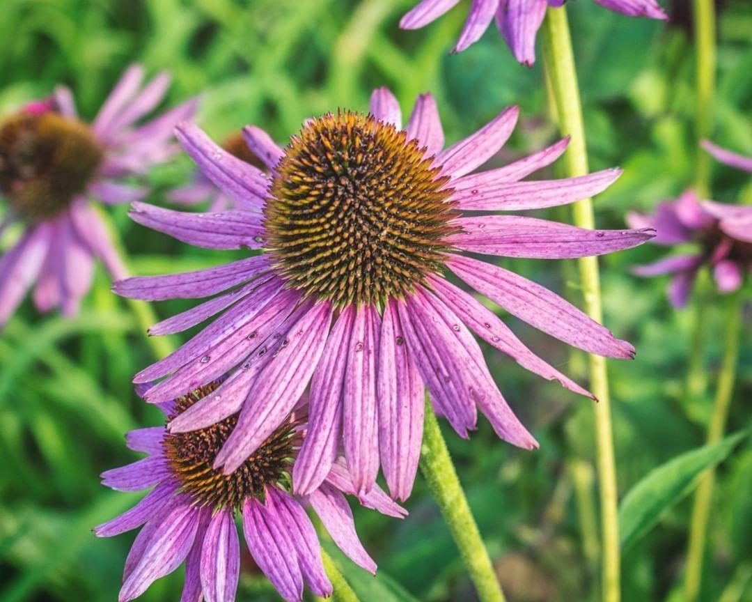 Magnus Echinacea Garden Quotes Garden Art Garden Inspiration