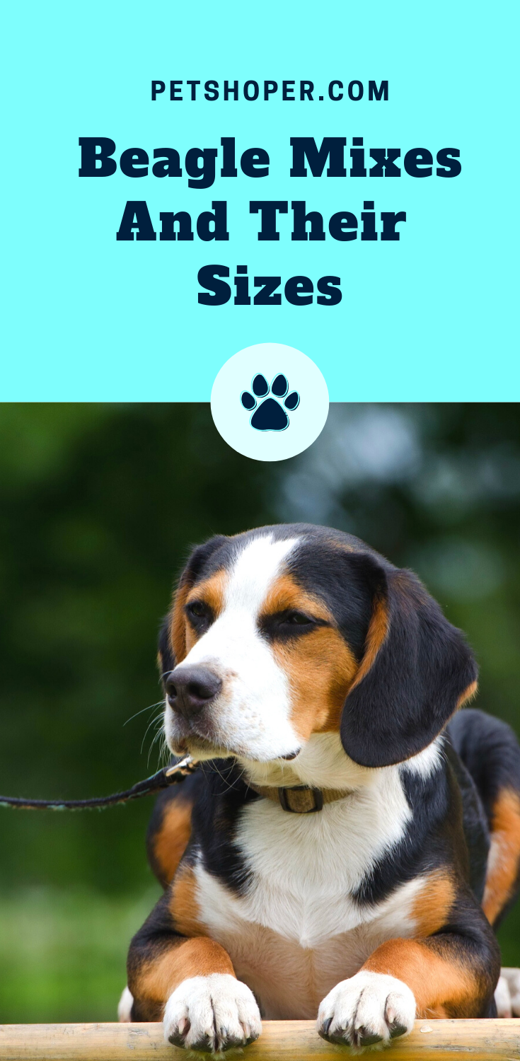 How Big Do Beagles Get Beagle Mixes And Their Sizes In 2020 Beagle Best Dogs For Families Beagle Mix