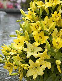 Lilja LA-hybridi Lecco