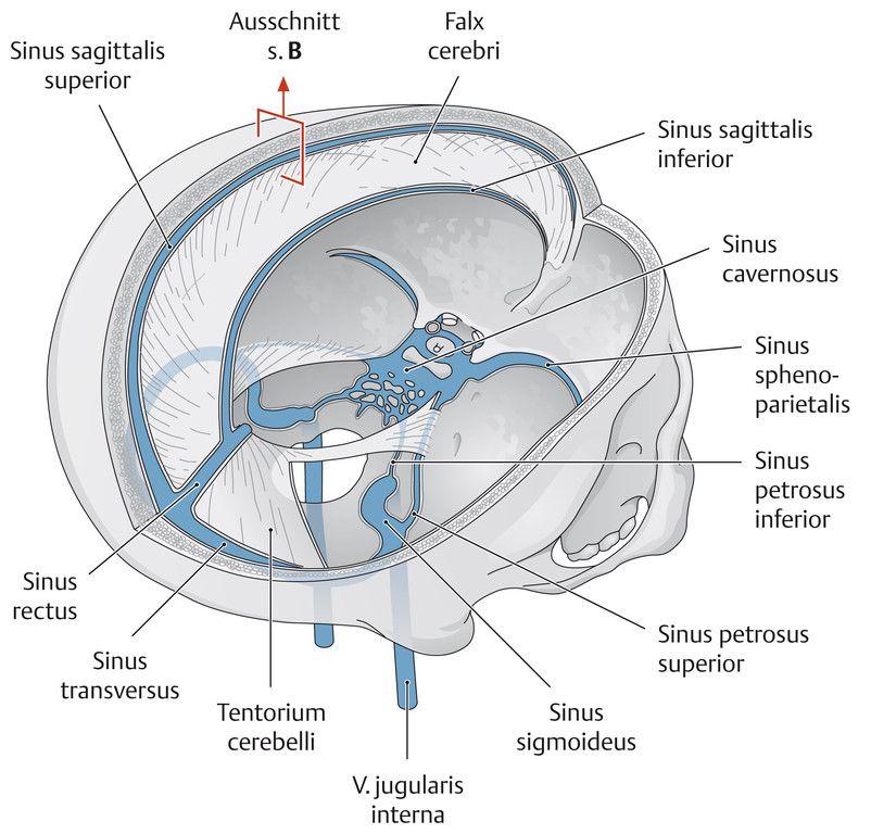 Kuvahaun tulos haulle sinus durae matris | Anatomi | Pinterest