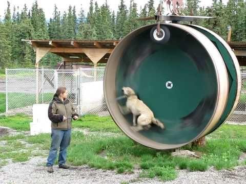Community Post Husky Thinks He S A Hamster Dog Playground Dog