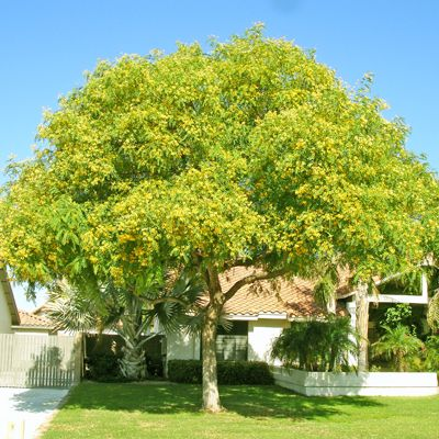 Tipu Tree For Fast Growing Desert Trees Moon Valley Nursery Phoenix Arizona