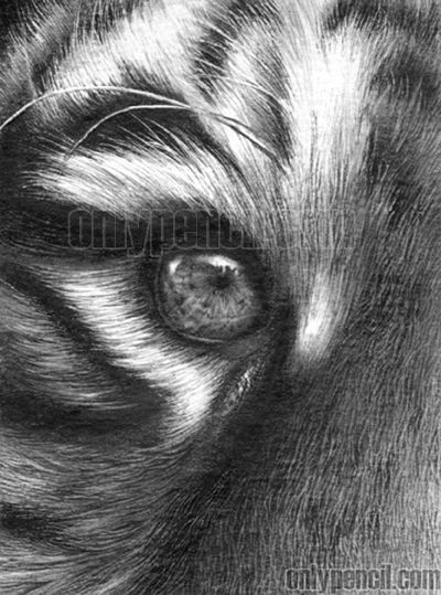 Drawing Realistic Tiger With Pencil Eyes Drawing And