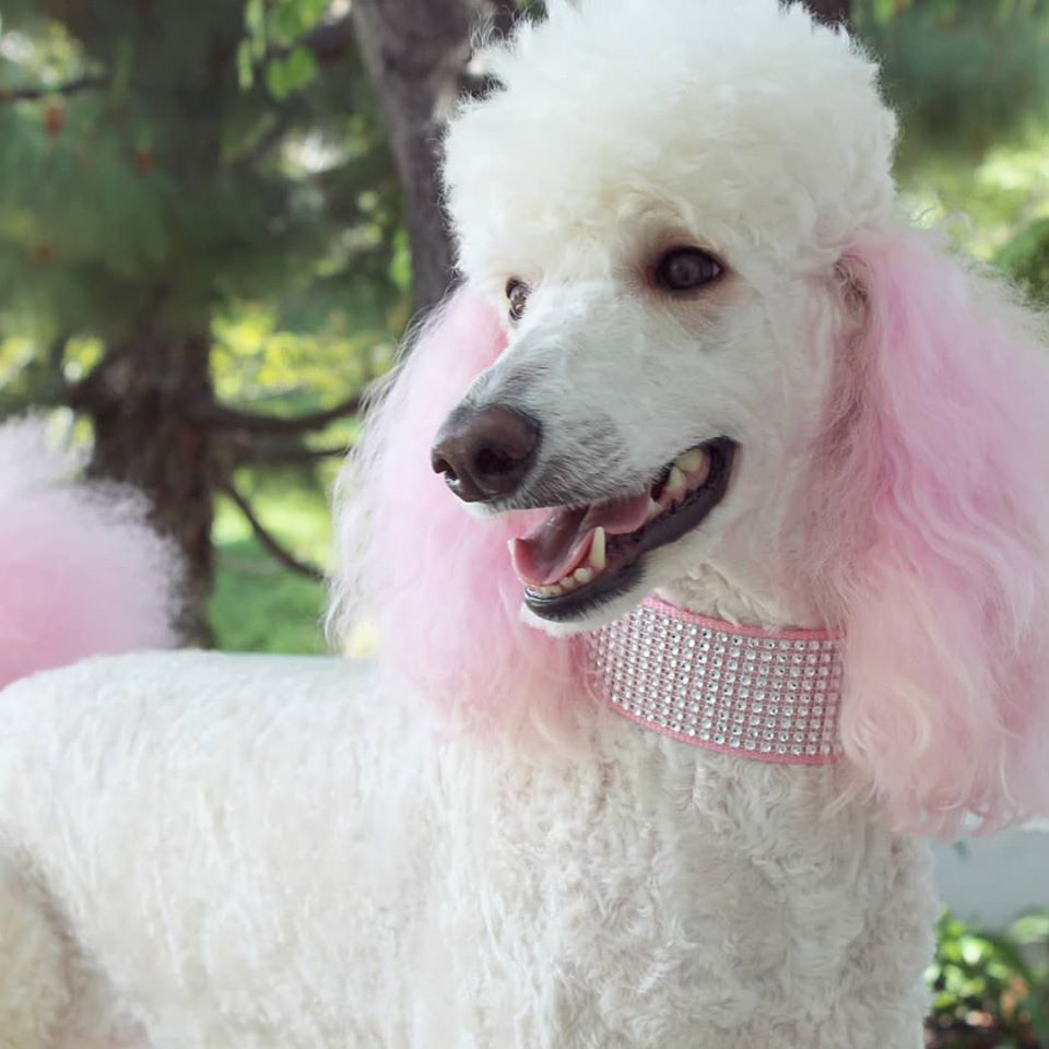Willow, the poodle, was dyed by Lauren Schmitt with OPAWZ