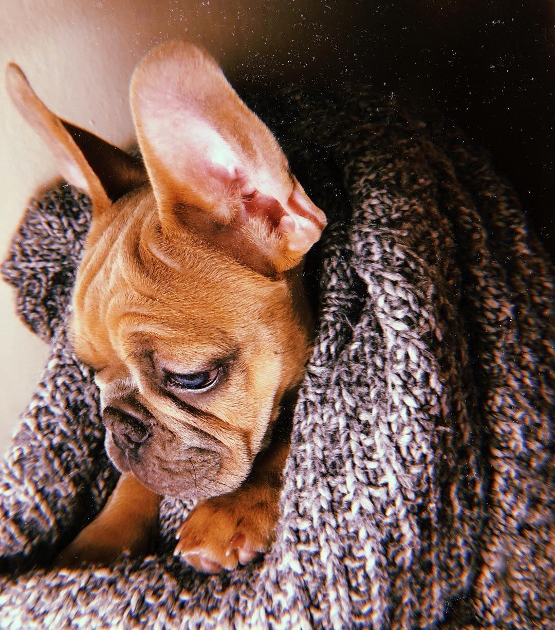Snuggly French Bulldog Frenchie Puppy F R E N C H I E French