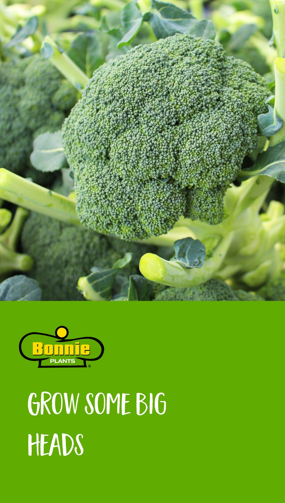 When growing broccoli, plant when it's cool, lop off the