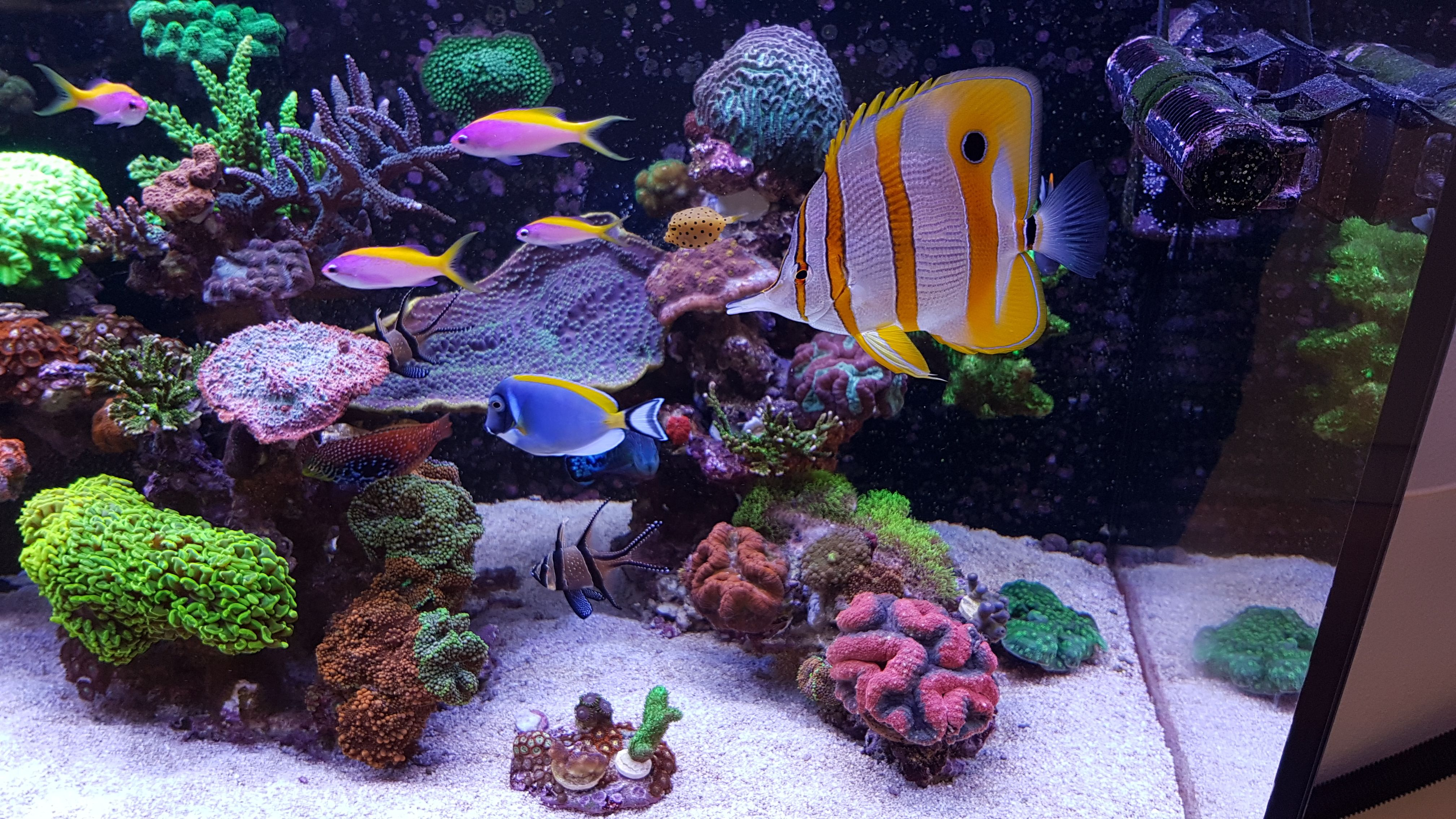 I Want A Show Stopper Fish What S Your Pick For A Center Piece Fish In A Reef Tank What Options Are The Best Click To Read Https Www Reef2reef Co Animaux