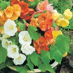 Photo Of Abutilon Bella Select Mix F1 Abutilon Flowers Flowers