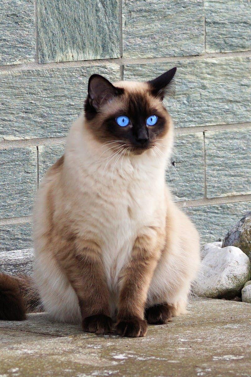 Brown Cat Cat Luve Stories Luveurpet Best Cat Breeds Siamese Cats Cats Kittens