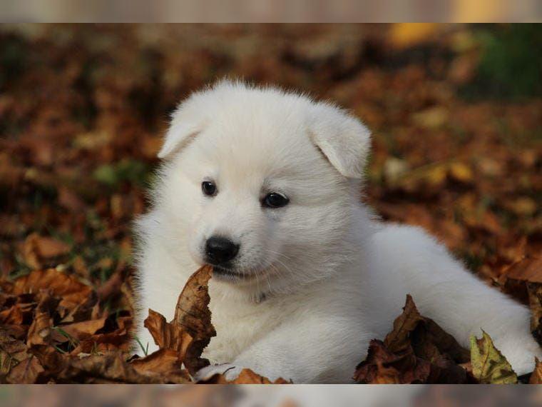 Weisse Schaferhunde Welpen Zum Durchknuddeln 3 Deine Tierwelt De