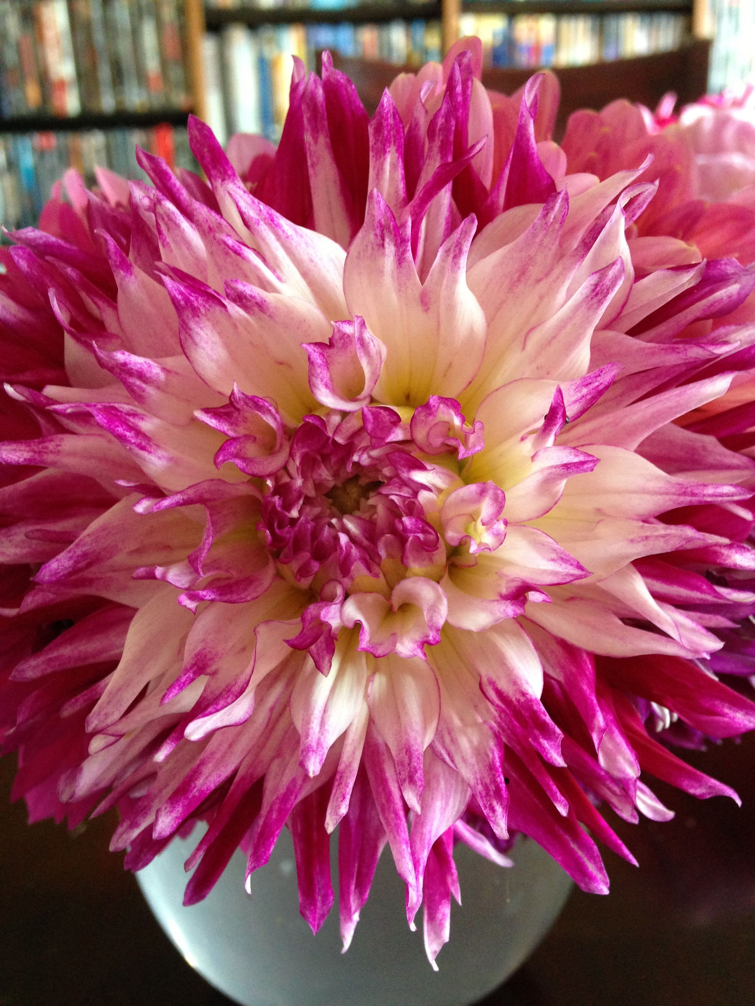 Dahlia Enchantress....huge with gorgeous coloring and serrated ...