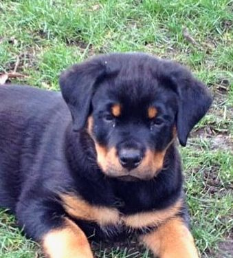 My 9 Week Old Female Rottweiler Puppy Her Cousin Was In The