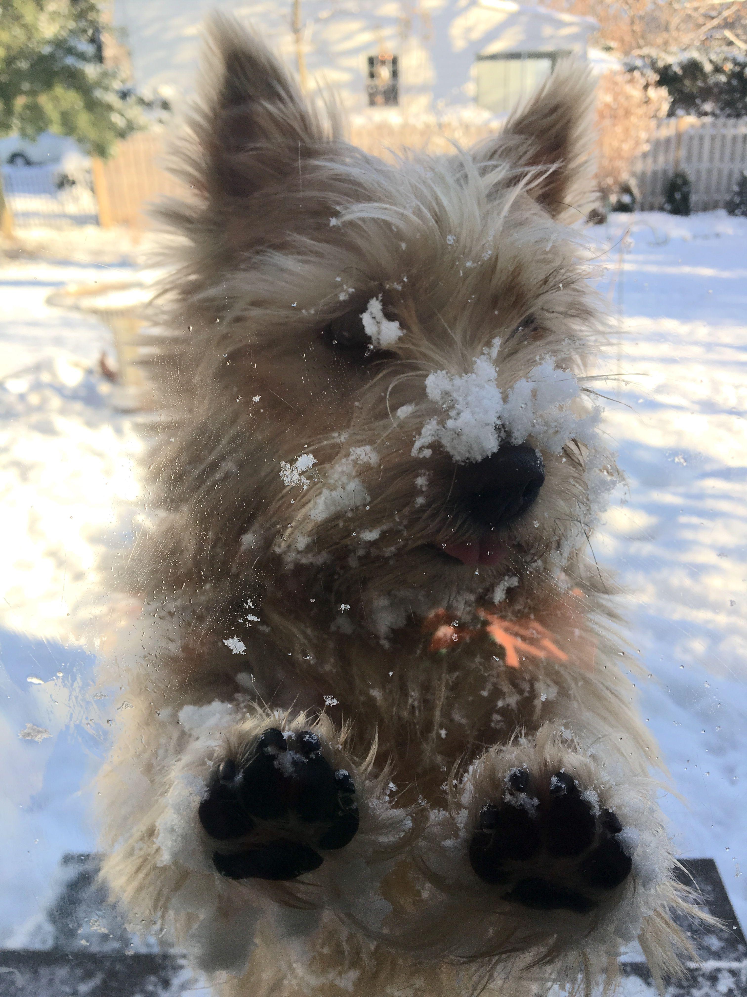 Our Snowy Norwich Terrier Kilyka S Phabulous Miss Phee Aka