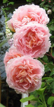 """Rose """"Abraham Darby"""" from David Austin roses."""