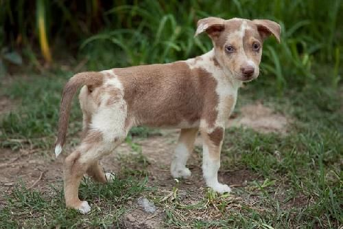 Chihuahua Catahoula Leopard Dog Mix They Say The Mix Part Of