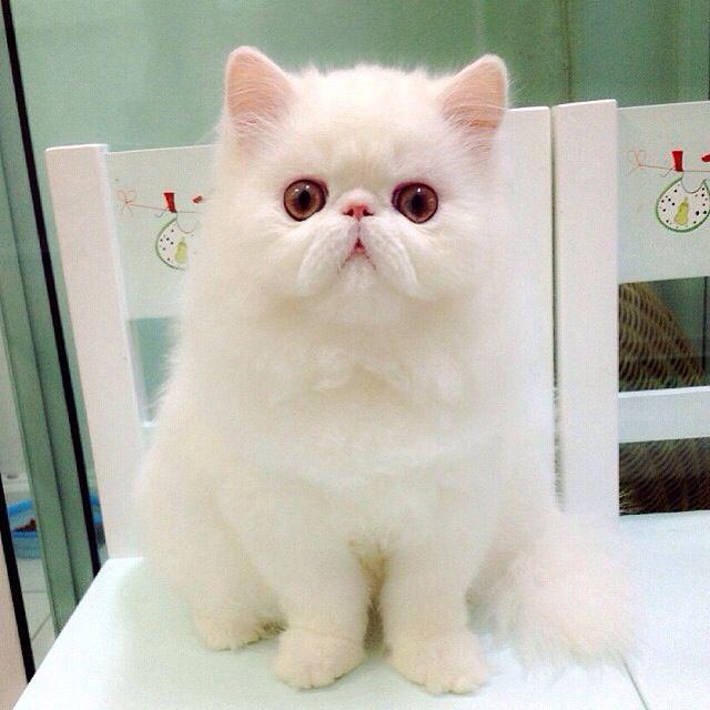 White Persian Cat Persian Cat Persian Cat White Pretty Cats
