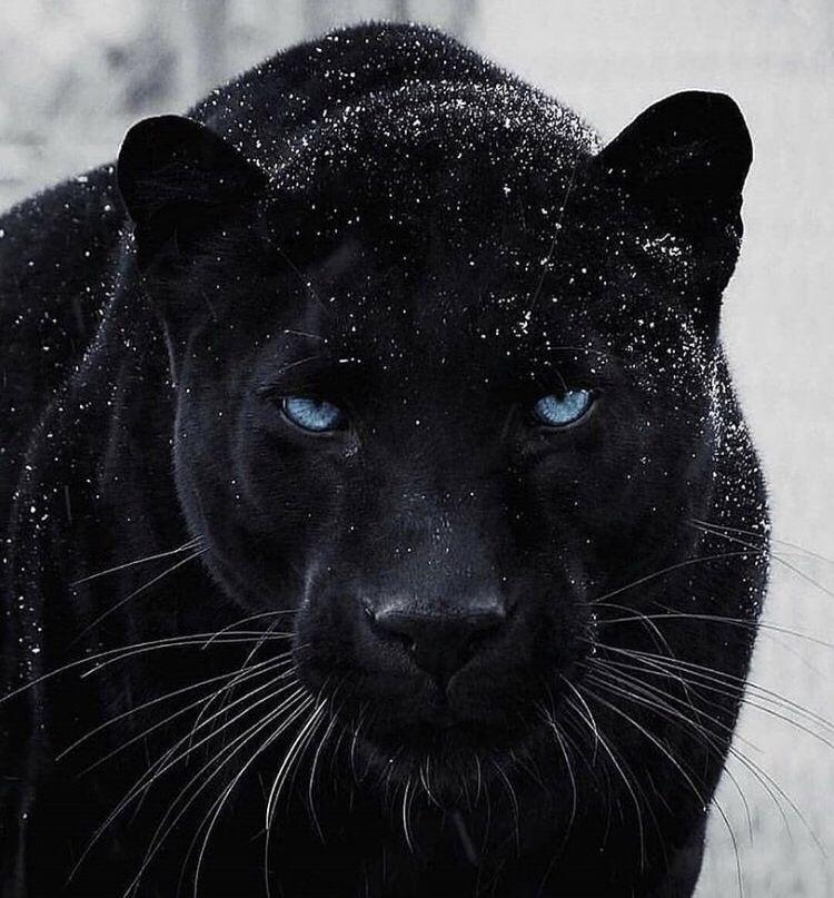 Black Panther Look At Those Blue Eyes Animals Majestic Animals Animals Beautiful
