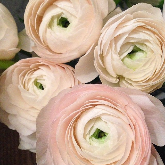 """Excited to create some magical compotes and bouquets with these amazingly large ranunculus blooms! #ranunculus #favouriteflower #flowersflowerseverywhere…"""