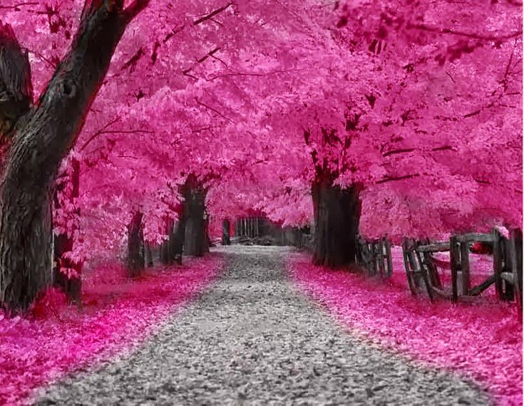 Gallery For Hot Pink Flowering Trees Pink Trees Nature Beautiful Tree