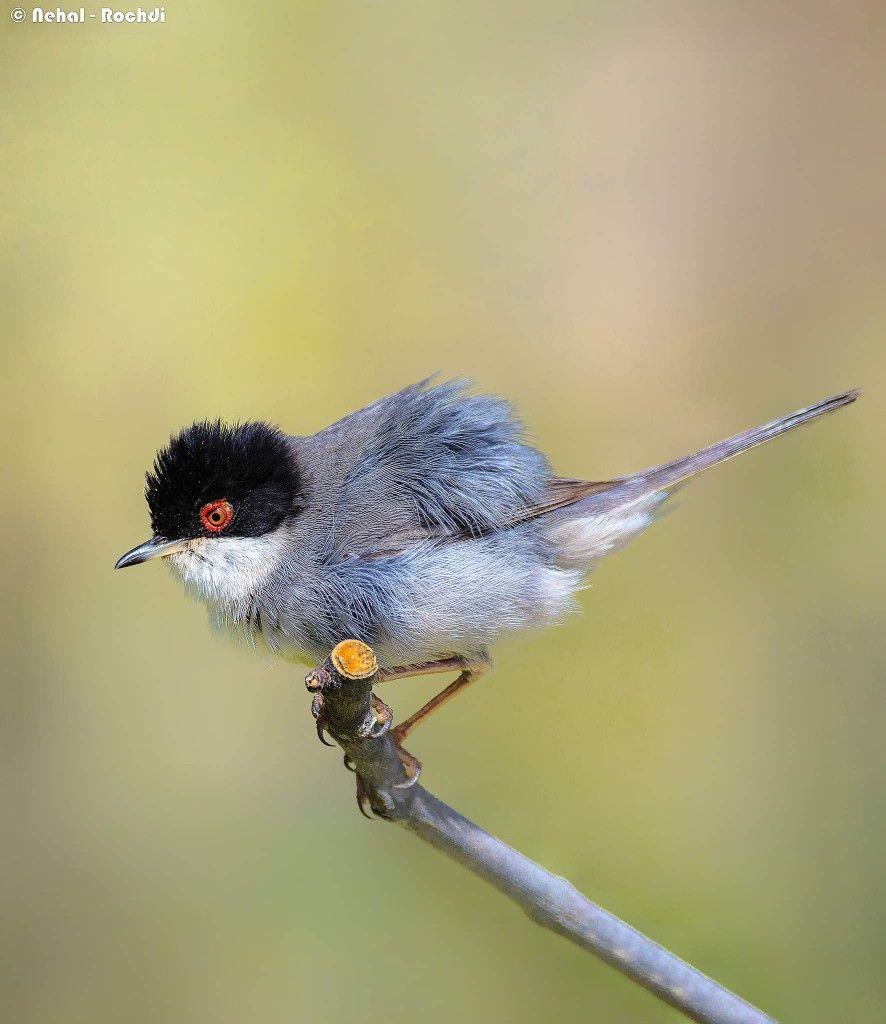 هاجزة سردينيا الرأساء الجزائر 2019 Animals Creatures Bird