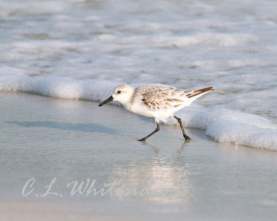 Shore Bird, Sand and Surf, Beach Bird, Nature Photograph, Waves and Wildlife, Ivory and White Decor. $24.00, via Etsy.