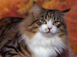 Norwegian Forest Cat - Bing Images