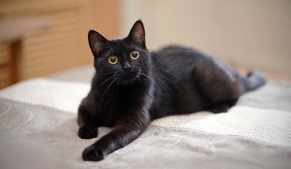 Black Cat Yellow Eyes Lies On Black Cat Day National Black Cat Day Black Cat Adoption