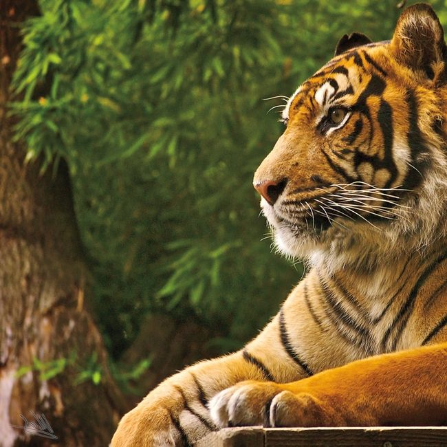 Visiting The Zoo Tiger 12 X 12 Paper Tiger Pictures Animals Beautiful Bengal Tiger