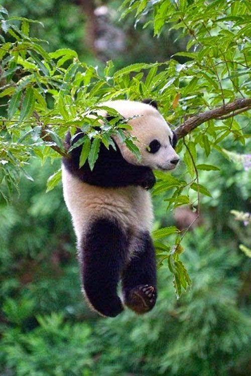 Watch Bao Bao The Baby Panda Tumble Through The Snow