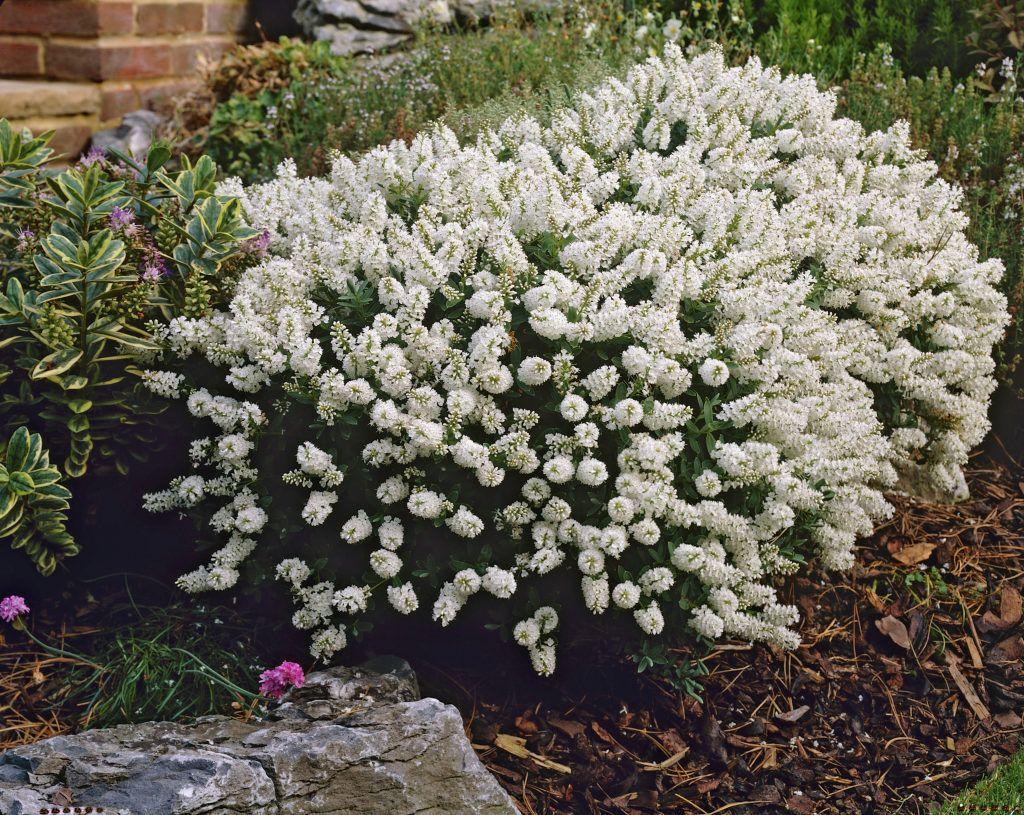 Hebe 39 white gem 39 bushes and shrubs pinterest gems for Garden shrubs