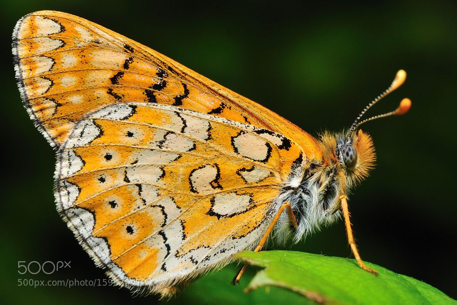 Euphydryas sibirica by jaeksong64