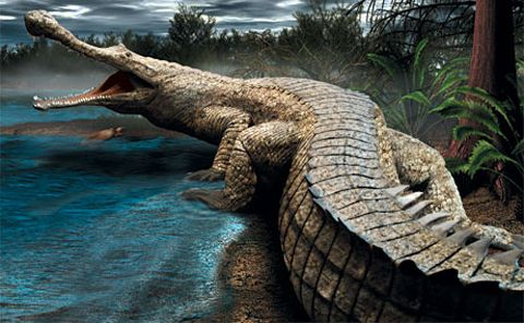SuperCroc is the largest crocodilian ever discovered. Its skull alone was six feet long. Based on skull and bone measurements and comparisons with modern crocs, it grew to between 37 and 40 feet and weighed up to 17,500 pounds. Growth lines in cross sections of the two rows of 35 armored plates along its-neck, back and tail put its minimum life span at 50 to 60 years.