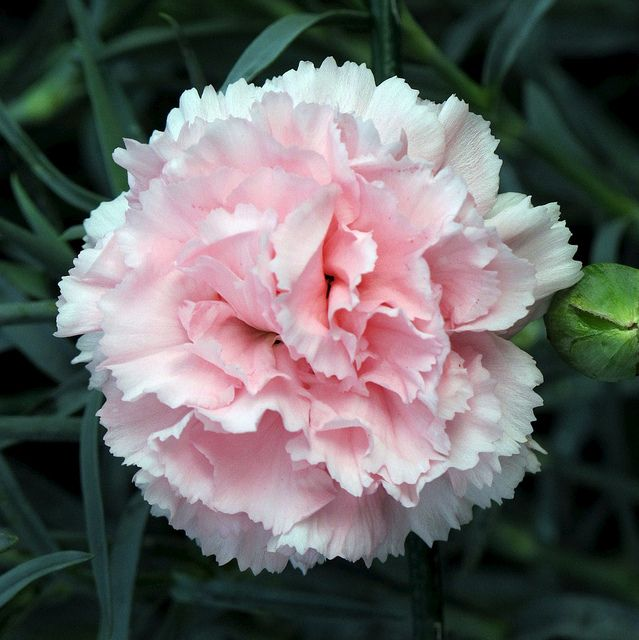 Plantes Vivaces Carnation Flower Beautiful Flowers Pink Carnations