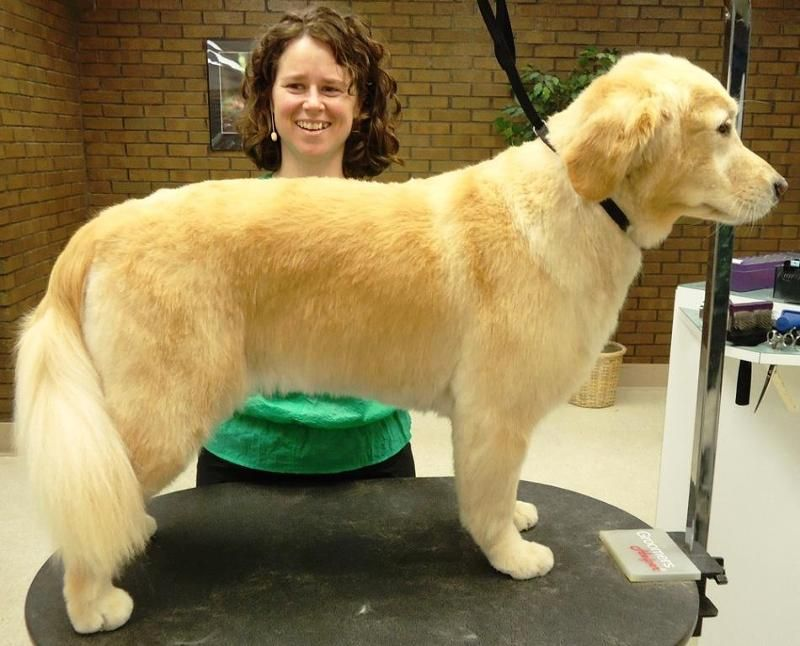 golden retriever haircut styles - Google Search   Pictures   Pinterest   Haircut style, Haircuts ...