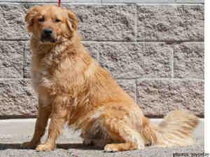 Carmel Is An Adoptable Golden Retriever Dog In Albuquerque Nm