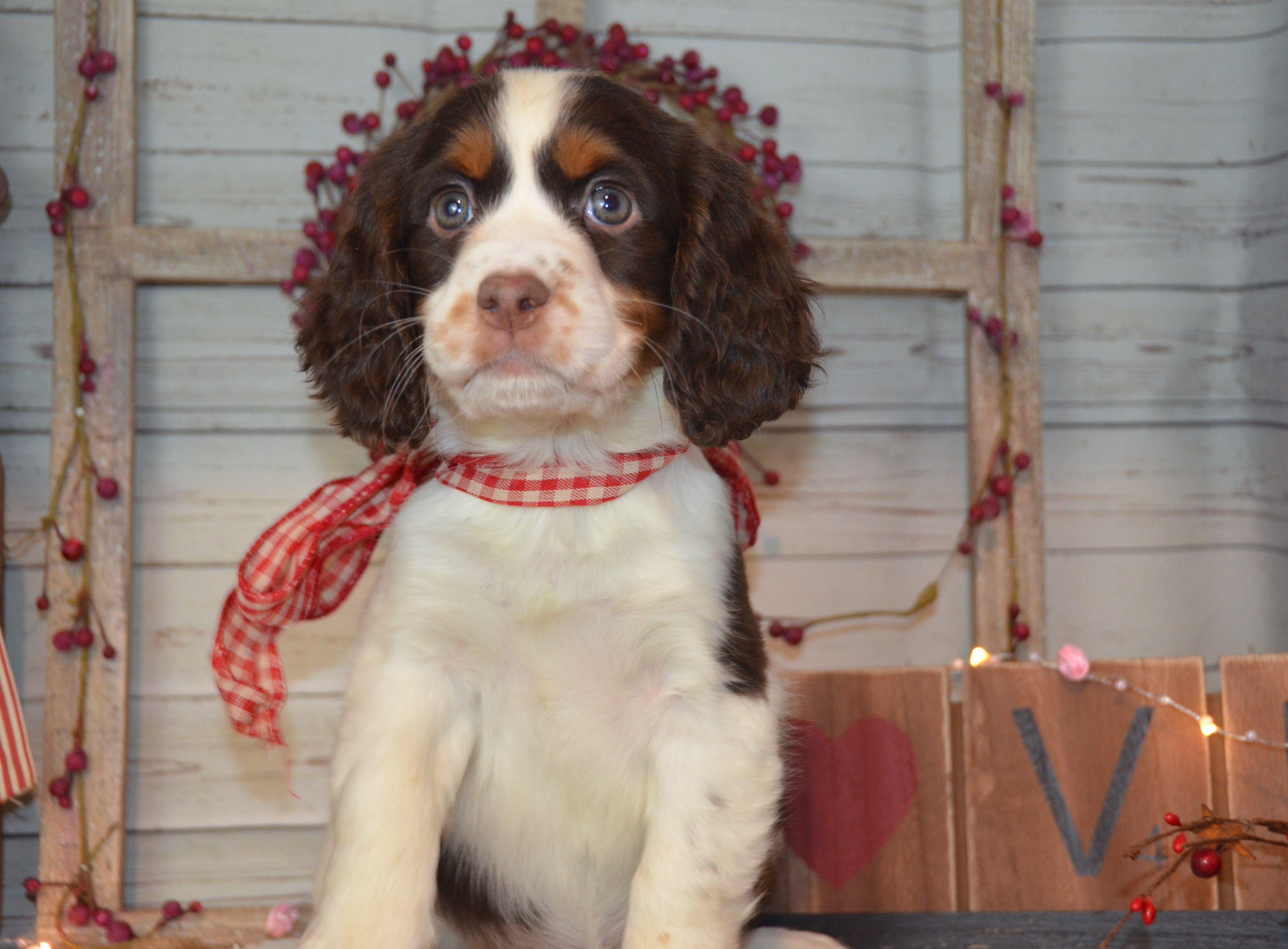 Rose English Springer Spaniel Puppy Spaniel puppies