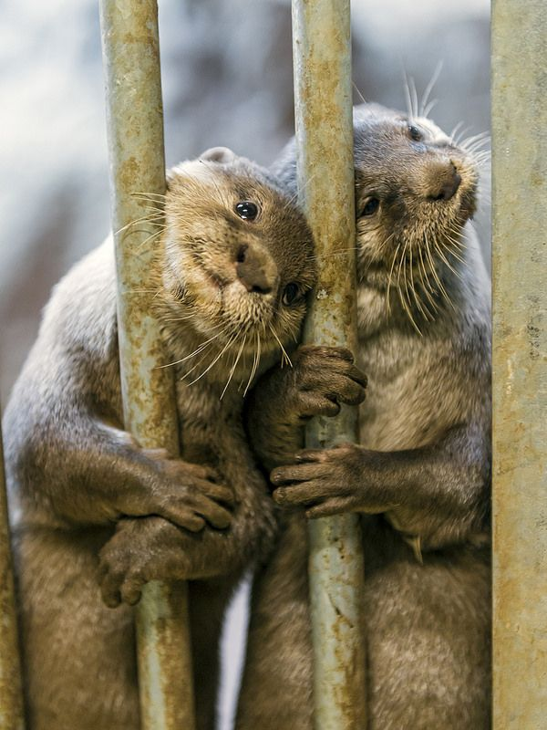 We want food!!! - Indian otters waiting for meal time at the Zurich Zoo in Switzland.