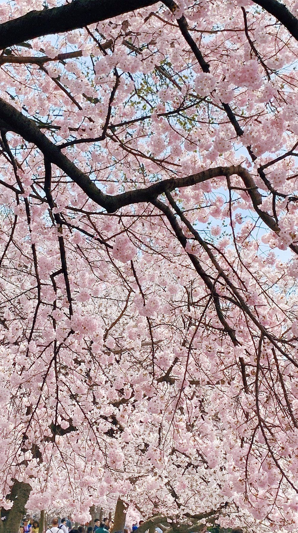 Happy Friday All That Glitters Cherry Blossom Season Cherry Blossom Festival All That Glitters