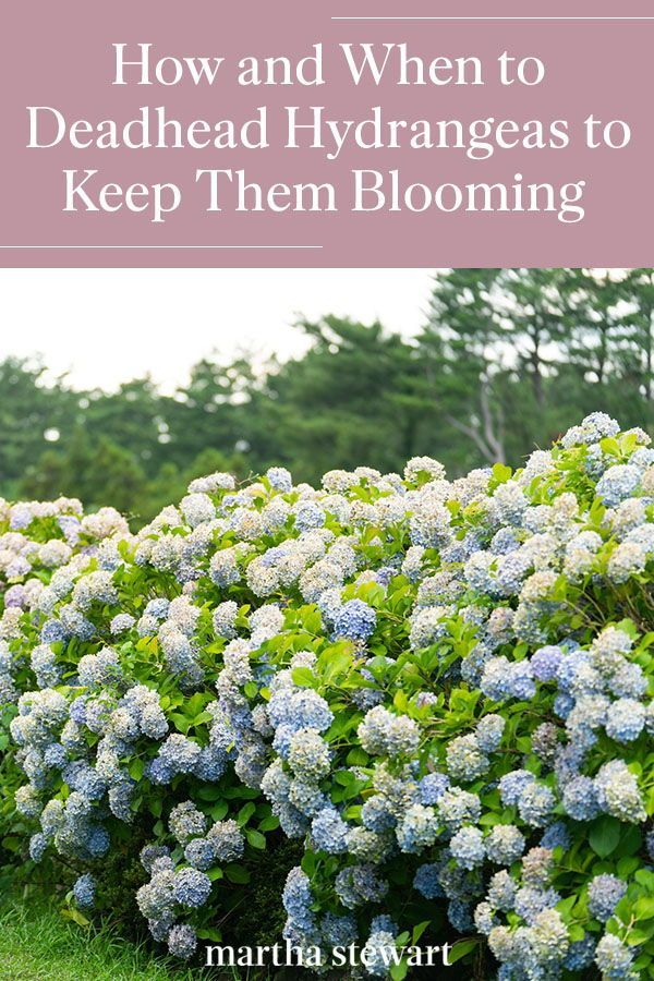 How And When To Deadhead Hydrangeas To Keep Them Blooming All Summer Long In 2020 Growing Hydrangeas Garden Yard Ideas Gorgeous Gardens