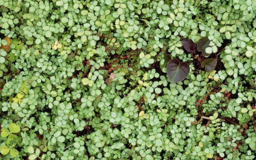 Blaugrunes Stachelnusschen Bemerkenswerter Bodendecker Bodendecker Steingarten Blau Grun