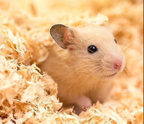 Hamster Care Bedding (Part 3) Hamster care, Animals