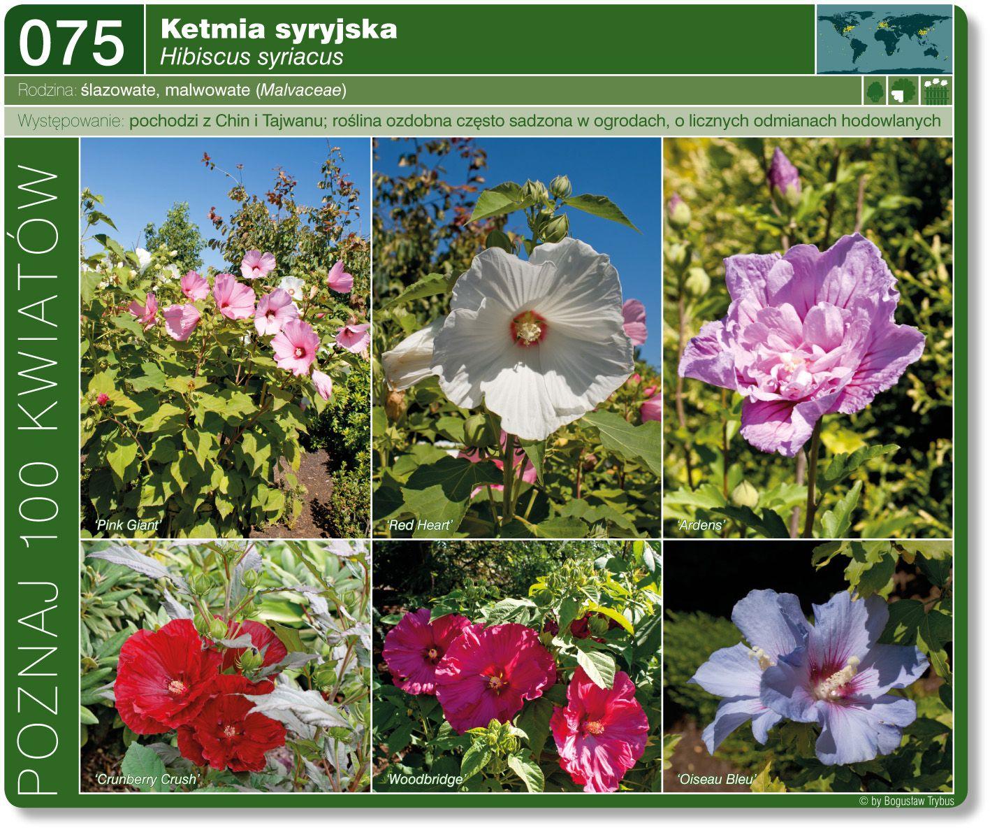 Ketmia Syryjska Plants