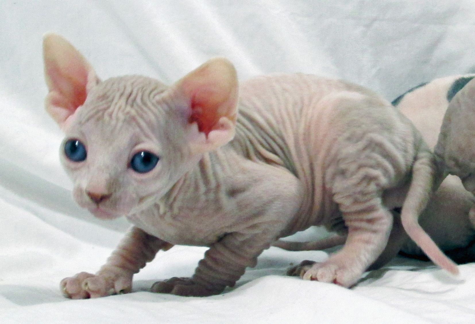 Sphynx kittens for sale | Sphynx cats | Sphynx kittens for