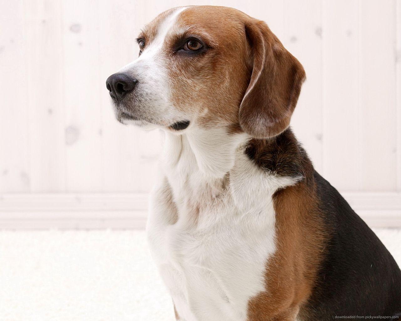 tricolor american foxhound - Google Search | American ...