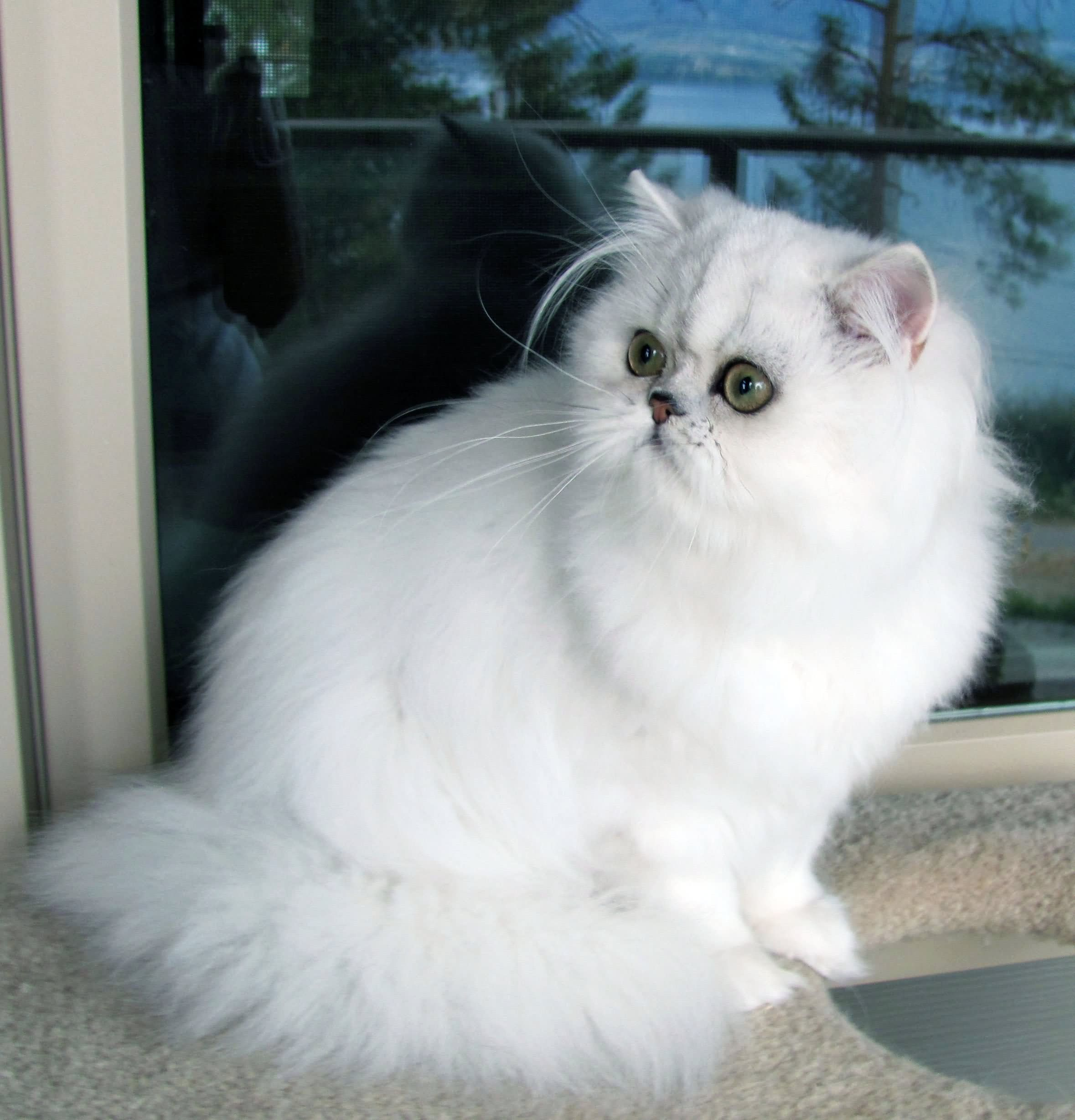White Himalayan Cat Sitting. Himalayan Cat is a breed or