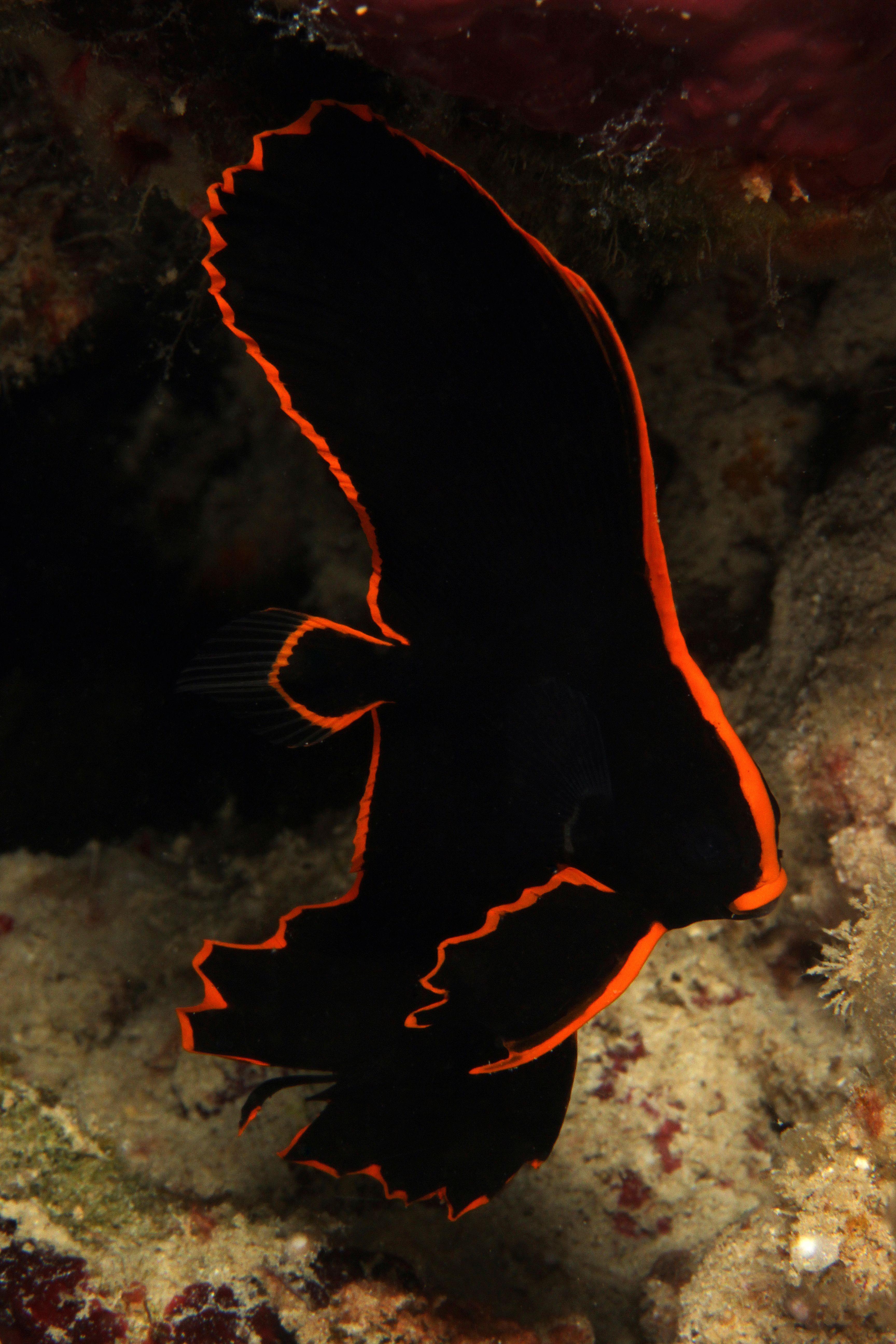 Juvenile Pinnatus Batfish Batfish Creatures Life Images