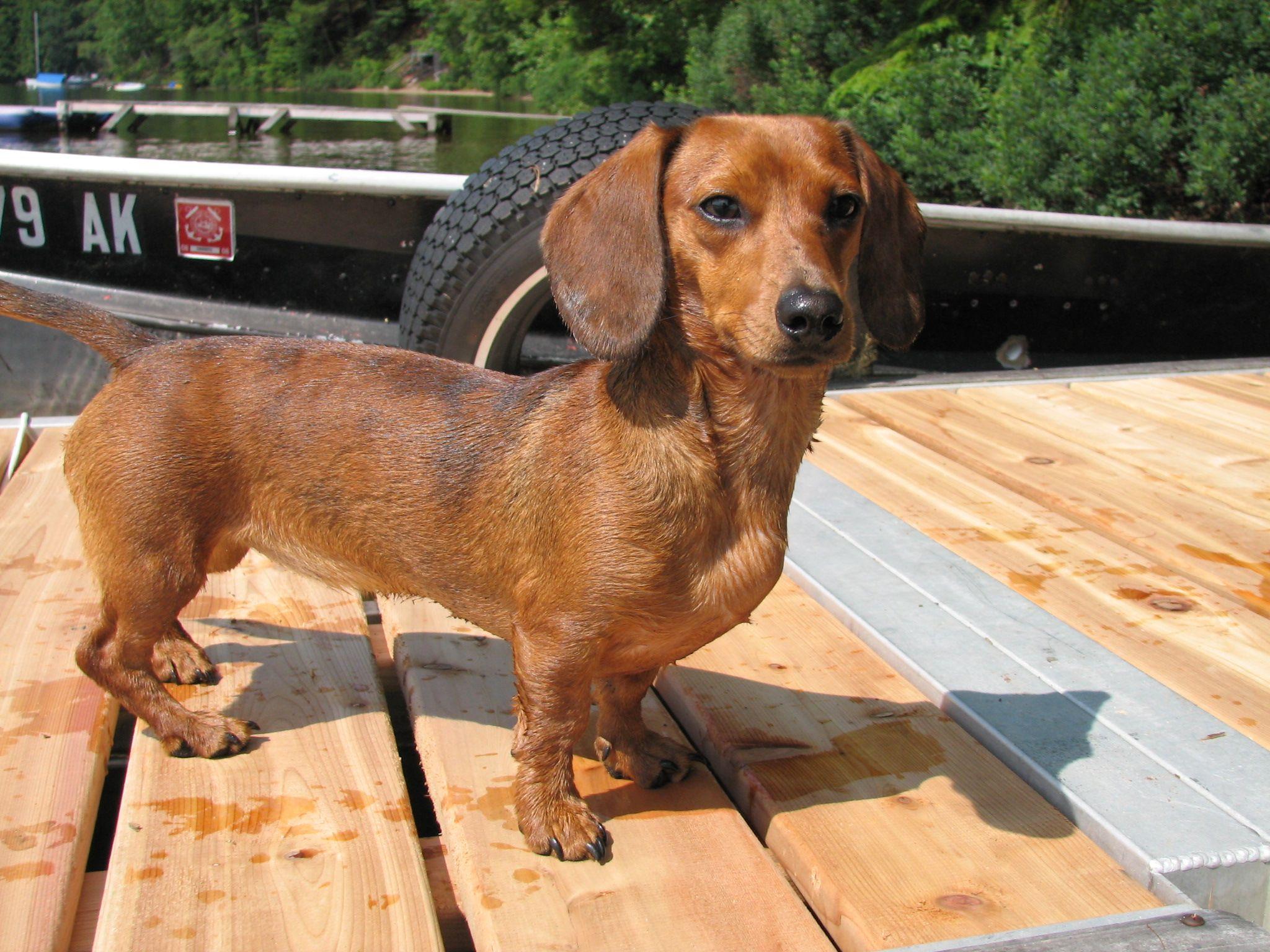 Kiki My Miniature Dachshund Weenie Dogs