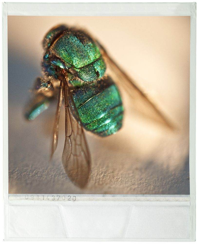 Chrysididae - Avispa Verde