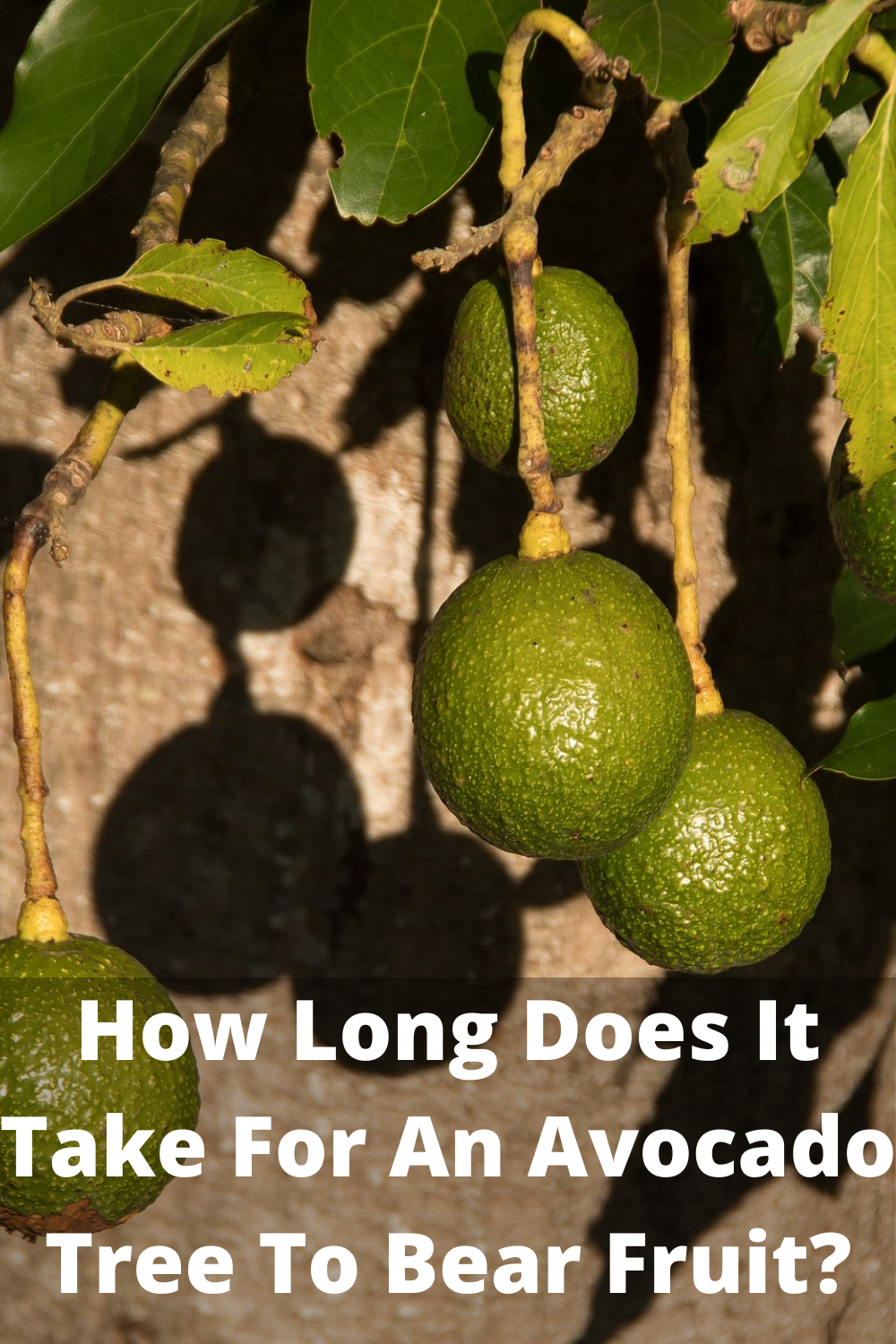 How Long Does It Take For An Avocado Tree To Bear Fruit Avocado Tree Growing An Avocado Tree Fruit
