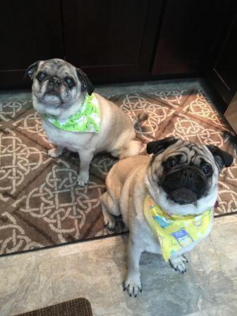 Sponsor Thomas Milo Grand Rapids Mi Pug Rescue Pug Lover Pugs